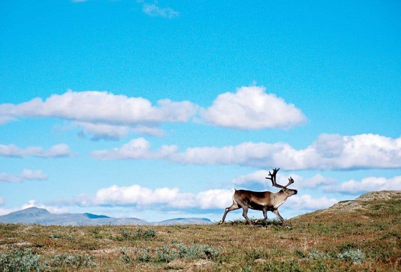 Motorradreise Nordkap ungefuehrt Elch 2
